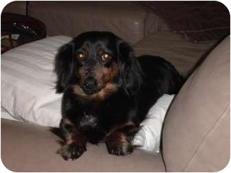 Dachshund Mix Dog for adoption in Windham, New Hampshire - Millie (in new england)