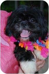Shih Tzu/Lhasa Apso Mix Dog for adoption in New Milford, Connecticut - Gigi