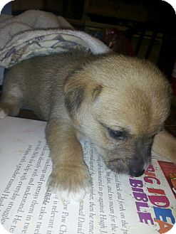 Terrier (Unknown Type, Small) Mix Puppy for adoption in Ft. Towson, Oklahoma - Puppies