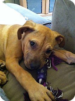 Boxer/Labrador Retriever Mix Puppy for adoption in Columbus, Ohio - Bailey