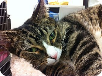 Domestic Shorthair Cat for adoption in Warminster, Pennsylvania - Sweetheart