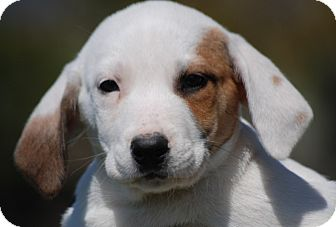Coonhound Mix Puppy for adoption in Providence, Rhode Island - Abigale