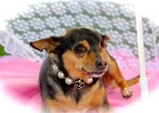 Chihuahua Dog for adoption in Lehigh Acres, Florida - Peek A Boo