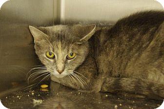 Domestic Shorthair Cat for adoption in Elyria, Ohio - Custard