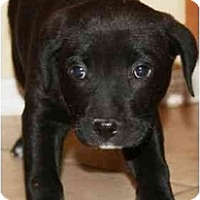Adopt A Pet :: Chanel - Gilbert, AZ