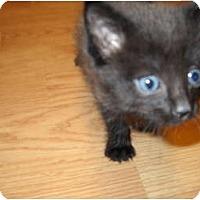 Adopt A Pet :: 1 CUTE KITTEN!! - Washington Terrace, UT