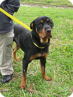 Rottweiler Dog for adoption in Florence, Indiana - Brewskie