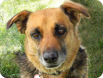 Corgi/Shepherd (Unknown Type) Mix Dog for adoption in Mountain Center, California - Wrangler
