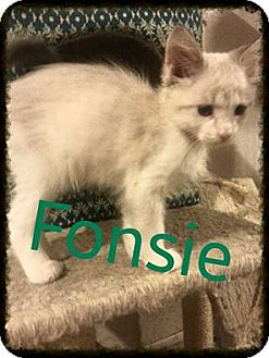 Ragdoll Kitten for adoption in Clarkston, Michigan - Fonsie