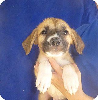 Golden Retriever/Australian Shepherd Mix Puppy for adoption in Oviedo, Florida - Barron