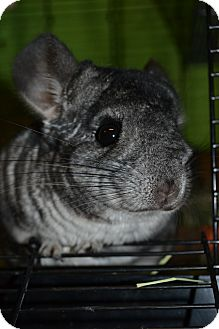 Chinchilla for adoption in Lindenhurst, New York - Carrot