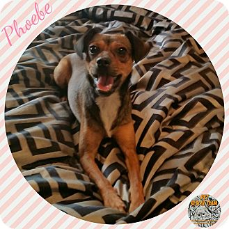 Chihuahua/Whippet Mix Dog for adoption in Houston, Texas - Phoebe