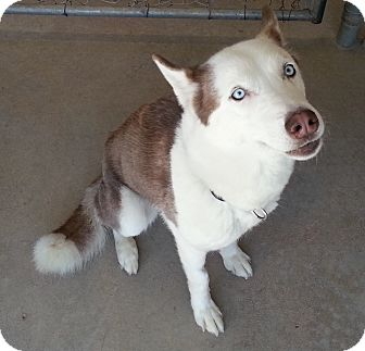 Siberian Husky Mix Dog for adoption in Divide, Colorado - Ellie