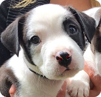 Staffordshire Bull Terrier/Border Collie Mix Puppy for adoption in Santa Monica, California - Roxie