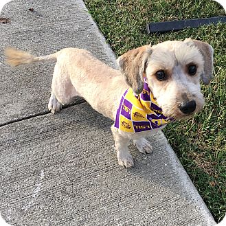 Schnauzer (Miniature)/Lhasa Apso Mix Dog for adoption in Baton Rouge, Louisiana - Costello