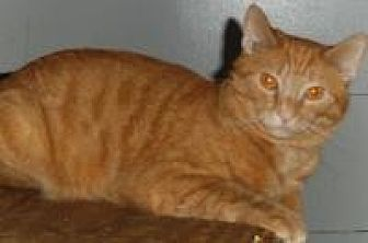 Domestic Shorthair Cat for adoption in Bear, Delaware - Goodie and Two Shoes