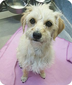 Terrier (Unknown Type, Small) Mix Dog for adoption in Las Vegas, Nevada - Shaggy Streak