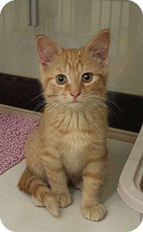 Domestic Shorthair Kitten for adoption in Warren, Ohio - Butterscotch