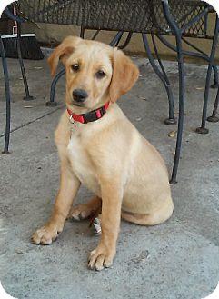 Golden Retriever Puppy for adoption in Carlsbad, California - Betsy