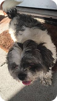 Lhasa Apso Mix Dog for adoption in Saddle Brook, New Jersey - Otis