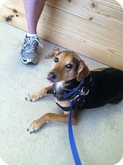 Beagle/Labrador Retriever Mix Dog for adoption in Ashland, Kentucky - Shadow