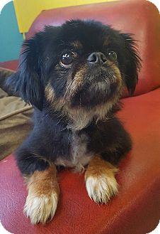 Pekingese Mix Dog for adoption in Charlotte, North Carolina - Coconut