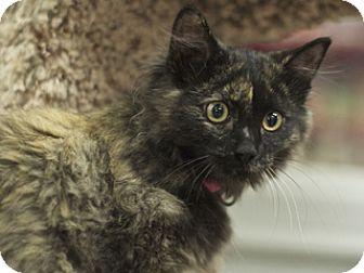 Domestic Longhair Kitten for adoption in Great Falls, Montana - Christina