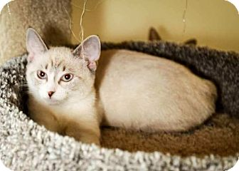 Siamese Kitten for adoption in Trevose, Pennsylvania - Spirit