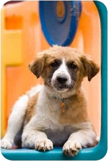 Brittany/German Shepherd Dog Mix Puppy for adoption in Portland, Oregon - Banjo
