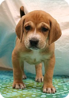 Labrador Retriever/Boxer Mix Puppy for adoption in Bedminster, New Jersey - True