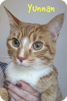 Domestic Shorthair Cat for adoption in Menomonie, Wisconsin - Yunnan