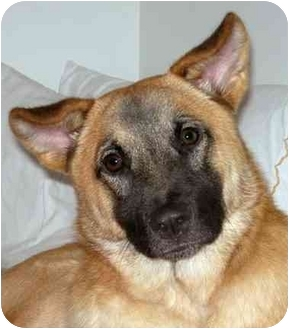 German Shepherd Dog/Sheltie, Shetland Sheepdog Mix Dog for adoption in Rolling Hills Estates, California - Tucker