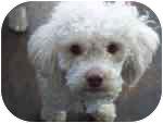 Bichon Frise/Poodle (Miniature) Mix Dog for adoption in Chicago, Illinois - Pierre
