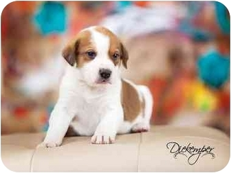 Bearded Collie Mix Puppy for adoption in Vandalia, Illinois - Brody