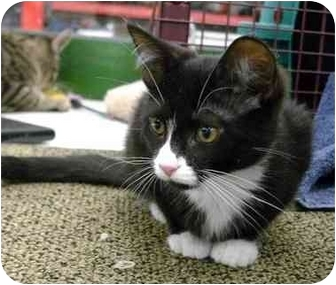 Domestic Shorthair Kitten for adoption in Troy, Michigan - Amaretto