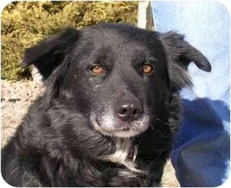 Border Collie/Australian Shepherd Mix Dog for adoption in Greeley, Colorado - Patty