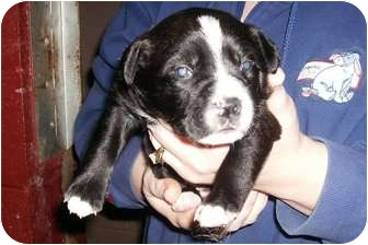 Pit Bull Terrier Puppy for adoption in Huntingburg, Indiana - Lucca