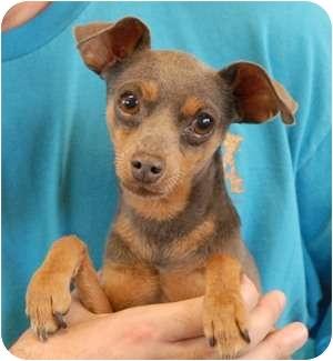 Miniature Pinscher Dog for adoption in Las Vegas, Nevada - Lilac