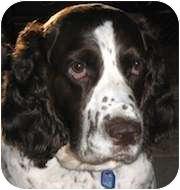 English Springer Spaniel Dog for adoption in Minneapolis, Minnesota - Honey (WI)
