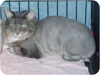 Maine Coon Cat for adoption in Westfield, Massachusetts - Mimi