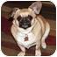 Photo 3 - Pekingese/Chihuahua Mix Dog for adoption in Lynnwood, Washington - Riesling-PENDING