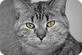 Domestic Shorthair Cat for adoption in Trevose, Pennsylvania - Trudy