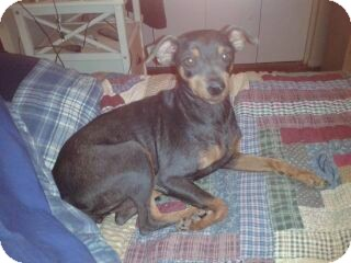 Miniature Pinscher Dog for adoption in Chandler, Arizona - Sissy