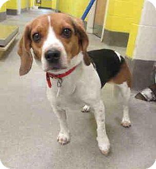 Beagle Dog for adoption in Waldorf, Maryland - Mia George