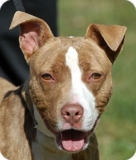 Pit Bull Terrier/Bull Terrier Mix Puppy for adoption in New Haven, Connecticut - BLAZE