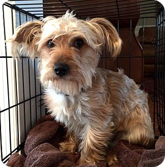 Yorkie, Yorkshire Terrier/Poodle (Miniature) Mix Dog for adoption in Salem, New Hampshire - BLONDIE