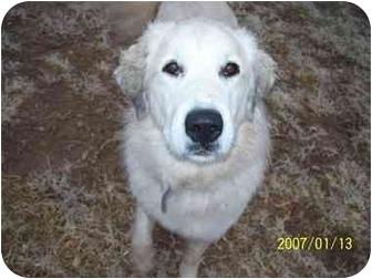 Great Pyrenees/Anatolian Shepherd Mix Dog for adoption in Coahoma, Texas - PRINCESS