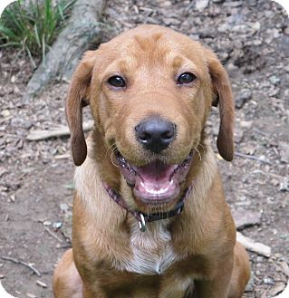 Redbone Coonhound/Bloodhound Mix Puppy for adoption in Allentown, Pennsylvania - Calliope
