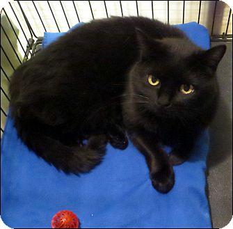Domestic Shorthair Cat for adoption in Colville, Washington - Munster