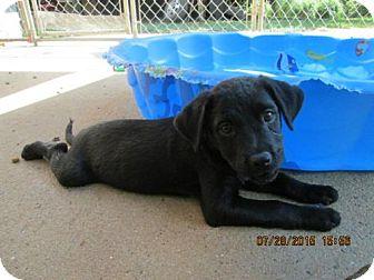 Flat-Coated Retriever/Labrador Retriever Mix Puppy for adoption in Brookside, New Jersey - Esmeralda